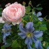 Cepter d'Isle rose anglaise