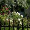roses à foison
